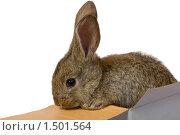 Купить «Серый кролик в коробке, изолированно на белом фоне», фото № 1501564, снято 16 сентября 2007 г. (c) Алексей Ухов / Фотобанк Лори