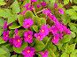 Примула в цвету, фото № 1501956, снято 12 мая 2007 г. (c) Светлана Арешкина / Фотобанк Лори