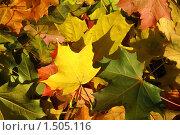 Купить «Листья клена», фото № 1505116, снято 28 сентября 2008 г. (c) Максим Лоскутников / Фотобанк Лори