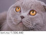 Серый кот крупным планом. Стоковое фото, фотограф Дмитрий Милехин / Фотобанк Лори