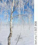 Береза в снегу на берегу Волги. Стоковое фото, фотограф Багира / Фотобанк Лори
