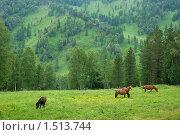 Алтайские лошади летом. Стоковое фото, фотограф Медер Анатолий Викторович / Фотобанк Лори