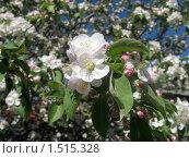 Купить «Яблоневый цвет», фото № 1515328, снято 28 мая 2009 г. (c) Людмила Банникова / Фотобанк Лори