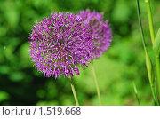 Купить «Лук голландский декоративный (Allium hollandicum)», эксклюзивное фото № 1519668, снято 4 июня 2009 г. (c) lana1501 / Фотобанк Лори