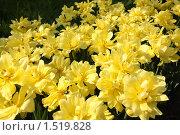 Желтые тюльпаны. Стоковое фото, фотограф Дмитрий Степной / Фотобанк Лори