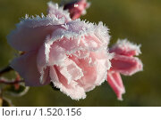 Замерзшая роза. Стоковое фото, фотограф Калинина Алиса / Фотобанк Лори