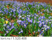 Купить «Хионодокса (Chionodoxa) на поляне», эксклюзивное фото № 1520408, снято 28 апреля 2009 г. (c) Алёшина Оксана / Фотобанк Лори