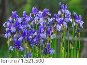 Купить «Ирис сибирский (Iris sibirica)», фото № 1521500, снято 8 июня 2009 г. (c) Алёшина Оксана / Фотобанк Лори