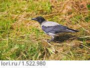 Купить «Ворона», эксклюзивное фото № 1522980, снято 11 июля 2009 г. (c) Алёшина Оксана / Фотобанк Лори
