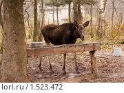 Лось у кормушки. Стоковое фото, фотограф Калинина Алиса / Фотобанк Лори