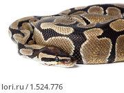 Купить «Питон королевский, Python regius», фото № 1524776, снято 2 марта 2010 г. (c) Василий Вишневский / Фотобанк Лори
