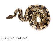 Купить «Питон королевский, Python regius», фото № 1524784, снято 2 марта 2010 г. (c) Василий Вишневский / Фотобанк Лори