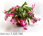 Купить «Цветущий кактус», фото № 1525740, снято 7 ноября 2008 г. (c) Татьяна Макотра / Фотобанк Лори