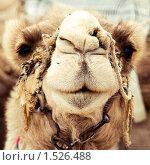 Верблюд. Стоковое фото, фотограф Калинина Алиса / Фотобанк Лори