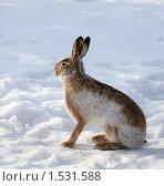 Купить «Заяц», фото № 1531588, снято 4 марта 2010 г. (c) Яна Королёва / Фотобанк Лори