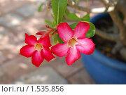 Купить «Адениум обезум (Adenium obesum)», фото № 1535856, снято 9 января 2010 г. (c) Лифанцева Елена / Фотобанк Лори