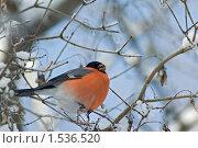 Купить «Снегирь», фото № 1536520, снято 23 февраля 2010 г. (c) Сергей Уланенков / Фотобанк Лори