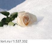 Роза на свежем снегу. Стоковое фото, фотограф Юрий Ческидов / Фотобанк Лори