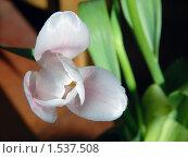 Бледно-сиреневый тюльпан. Стоковое фото, фотограф Сергей Жуков / Фотобанк Лори