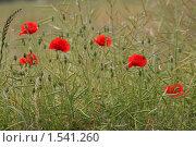 Купить «Алые маки в поле», фото № 1541260, снято 29 июня 2008 г. (c) Ельчанинов Вячеслав / Фотобанк Лори