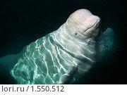 Купить «Дельфин белуха», фото № 1550512, снято 7 марта 2008 г. (c) Карманова Валерия / Фотобанк Лори