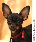 Купить «Портрет собаки породы той-терьер», фото № 1552728, снято 15 марта 2010 г. (c) Мишурова Виктория / Фотобанк Лори