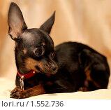 Купить «Портрет собаки породы той-терьер», фото № 1552736, снято 15 марта 2010 г. (c) Мишурова Виктория / Фотобанк Лори