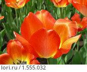 Купить «Тюльпаны», эксклюзивное фото № 1555032, снято 11 мая 2009 г. (c) lana1501 / Фотобанк Лори