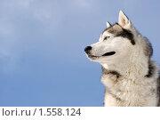 Купить «Сибирский хаски», фото № 1558124, снято 6 марта 2010 г. (c) Дмитрий Черевко / Фотобанк Лори