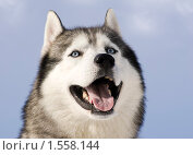 Купить «Сибирский хаски», фото № 1558144, снято 6 марта 2010 г. (c) Дмитрий Черевко / Фотобанк Лори