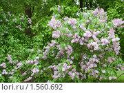 Сиреневое цветение. Стоковое фото, фотограф Солодовникова Елена / Фотобанк Лори