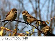 Купить «Городские воробьи осенью», фото № 1563940, снято 4 ноября 2009 г. (c) Маргарита Герм / Фотобанк Лори