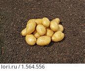 Купить «Картофель на почве», фото № 1564556, снято 12 июля 2009 г. (c) Бондарь Александр Николаевич / Фотобанк Лори