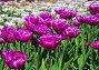 Махровые тюльпаны, фото № 1569364, снято 12 мая 2008 г. (c) Алёшина Оксана / Фотобанк Лори