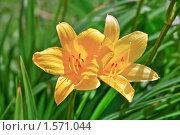 Купить «Лилейник (красоднев)  на зеленом  фоне», фото № 1571044, снято 27 мая 2008 г. (c) Алёшина Оксана / Фотобанк Лори