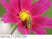 Купить «Пчела на розовом цветке», фото № 1574724, снято 12 августа 2007 г. (c) Евгений Батраков / Фотобанк Лори