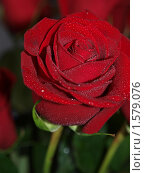Купить «Красная роза», фото № 1579076, снято 8 марта 2010 г. (c) Алешина Екатерина / Фотобанк Лори