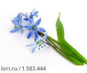 Купить «Цветы пролески, сциллы сибирской, лежащие на белом фоне», фото № 1583444, снято 4 мая 2009 г. (c) Елена Завитаева / Фотобанк Лори