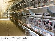 Купить «Бройлеры в клетке», фото № 1585744, снято 28 февраля 2010 г. (c) Олег Хархан / Фотобанк Лори