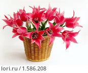Купить «Большой букет ярко-розовых тюльпанов в корзине», фото № 1586208, снято 21 мая 2009 г. (c) Елена Завитаева / Фотобанк Лори