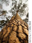 Купить «Сросшаяся сосна», фото № 1586964, снято 27 марта 2010 г. (c) Андрей Лабутин / Фотобанк Лори