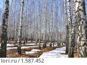 Купить «Березовая роща весной», фото № 1587452, снято 28 марта 2010 г. (c) Ласточкин Евгений / Фотобанк Лори