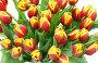 Желто-красные тюльпаны, фото № 1588240, снято 11 марта 2010 г. (c) Наталья Волкова / Фотобанк Лори