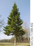 Купить «Ель», фото № 1588432, снято 29 апреля 2008 г. (c) Надежда Болотина / Фотобанк Лори