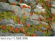 Купить «Лапчатка гусиная на скале», фото № 1588996, снято 24 сентября 2006 г. (c) Ольга Остроухова / Фотобанк Лори