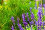 Цветы на фоне сосновых веток, фото № 1589500, снято 17 июля 2008 г. (c) Татьяна Макотра / Фотобанк Лори