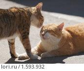 Рыжие коты. Стоковое фото, фотограф Raulin / Фотобанк Лори