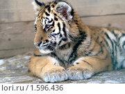 Уссурийский дальневосточный тигр. Стоковое фото, фотограф Михаил Борсов / Фотобанк Лори