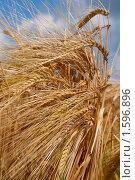 Купить «Пшеница», фото № 1596896, снято 20 июля 2008 г. (c) Черников Роман / Фотобанк Лори
