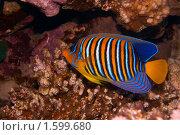 Купить «Королевская рыба-ангел у кораллового рифа - Pygoplites diacanthus - Красное море, Синай, Египет», фото № 1599680, снято 22 января 2019 г. (c) Виктор Савушкин / Фотобанк Лори